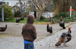 laconner_turkey